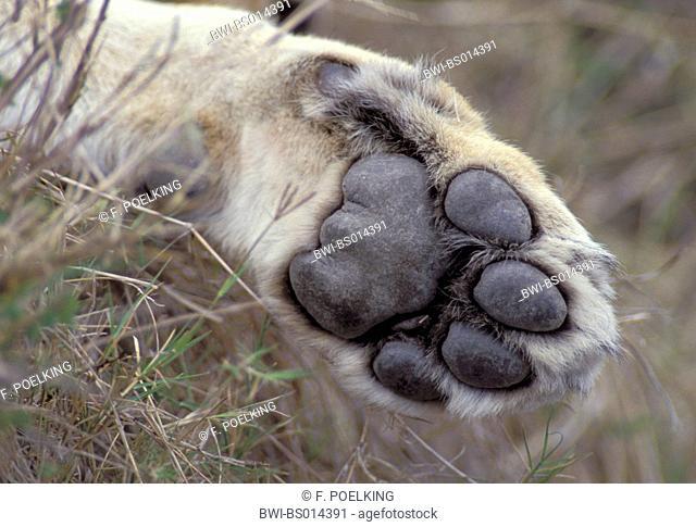 lion (Panthera leo), detail of the forepaw, Kenya, Masai Mara Wildlife Reservation