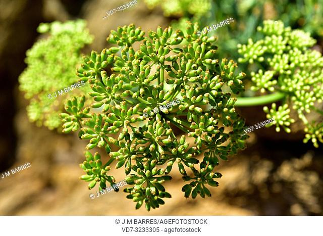 Sea fennel or samphire (Crithmum maritimum) is an edible perennial herb native to Mediterranean Basin coasts. Fruits detail