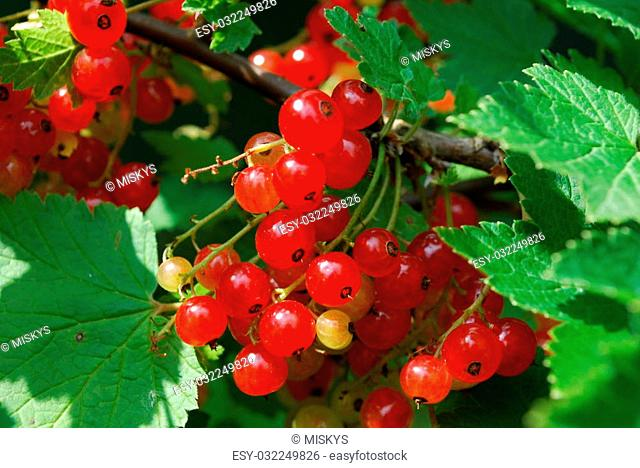 Bushes of juicy red currant in garden