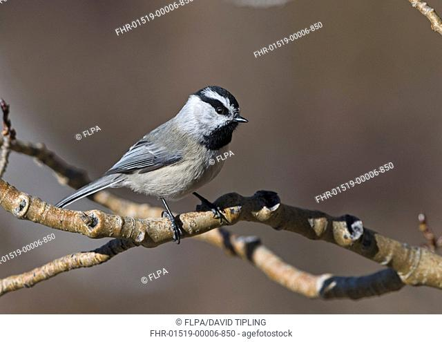 Mountain Chickadee Parus gambeli adult, perched on twig, Scandia Crest, near Albuquerque, New Mexico, U S A , january