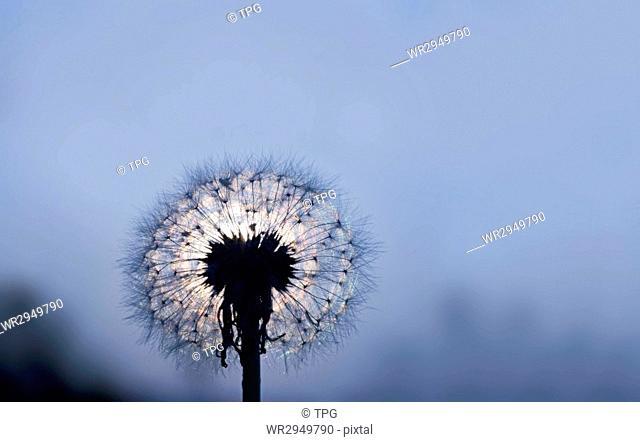 dandelion under moonlight