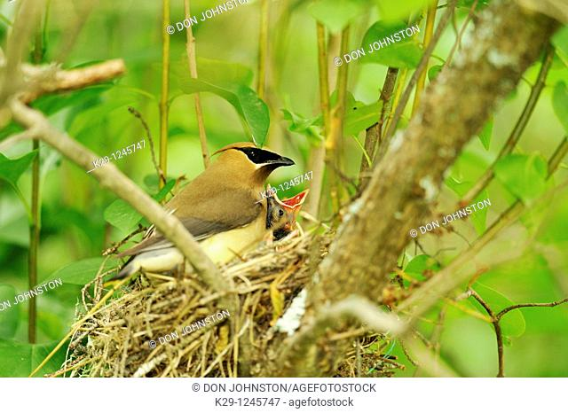 Cedar Waxwing Bombycilla cedrorum Female in nest with young