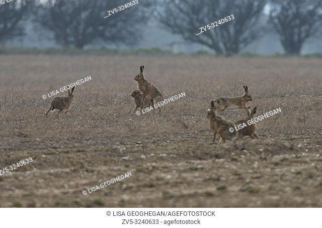European Brown (Common) Hares- Lepus europaeus box. Spring. Uk