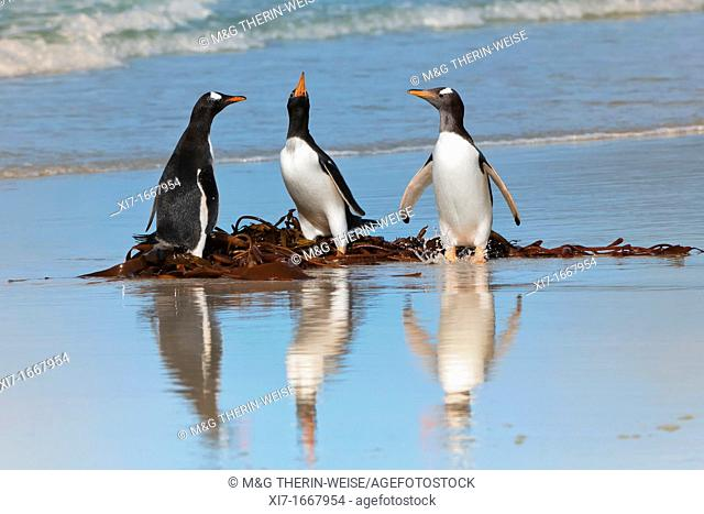 Group of Gentoo penguins Pygoscelis papua fighting on the beach, Saunders Island, Falkland Islands