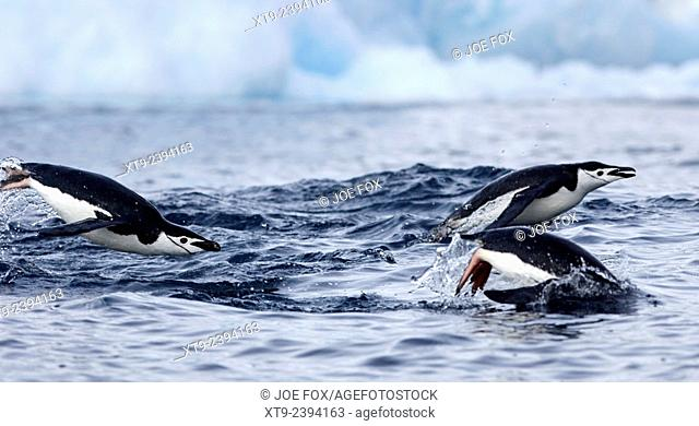 chinstrap penguins (Pygoscelis antarctica) porpoising on the surface of the water in antarctica