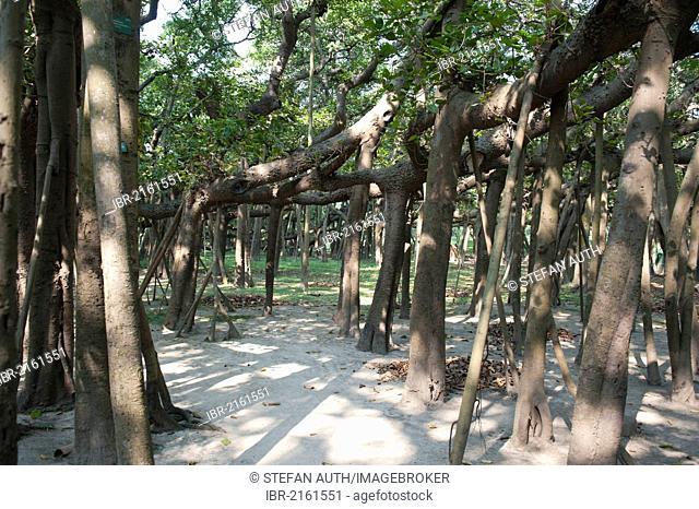 Aerial roots of the Great Banyan, a Banyan Fig (Ficus benghalensis), the world's largest fig tree, Acharya Jagadish Chandra Bose Indian Botanic Garden, Howrah