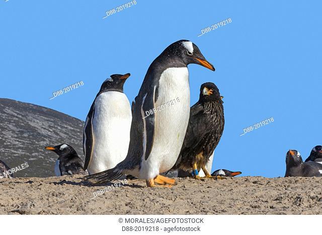 Falkland Islands, Saunders island, Gentoo Penguin Pygoscelis papua papua