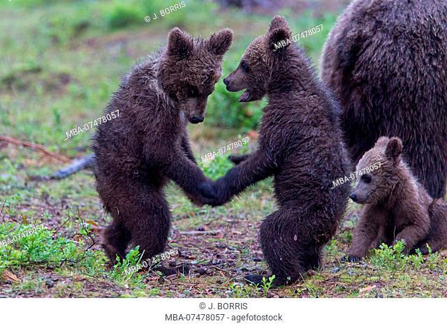 Brown bears, Usus arctos, young animals play