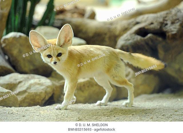 fennec fox (Fennecus zerda, Vulpes zerda), in vivarium