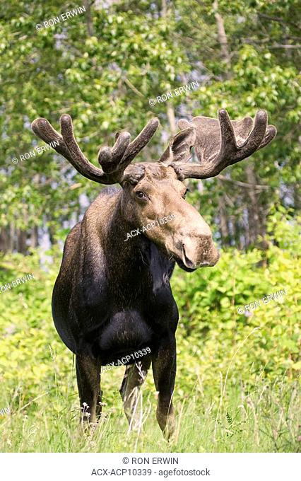 Large Bull Moose Aces aces with velvet antlers in Gros Morne National Park, Newfoundland and Labrador, Canada