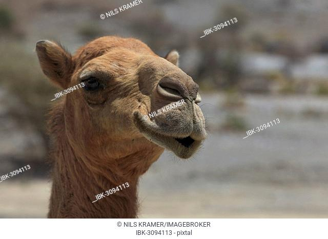 Dromedary (Camelus dromedarius), living in the wild, portrait, Quirat, Masqat, Oman