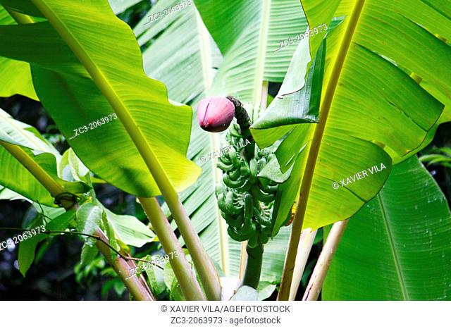 Banana tree with flower in the jungle, Island, Pulau Perhentian Kecil, China Sea, near Long Beach, Terengganu, Malaysia