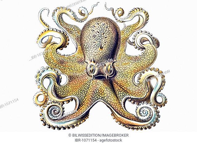 Historical illustration, Gamochonia, Octopus vulgaris, Plate 54 from Ernst Haeckel's Kunstformen der Natur, Art Forms of Nature