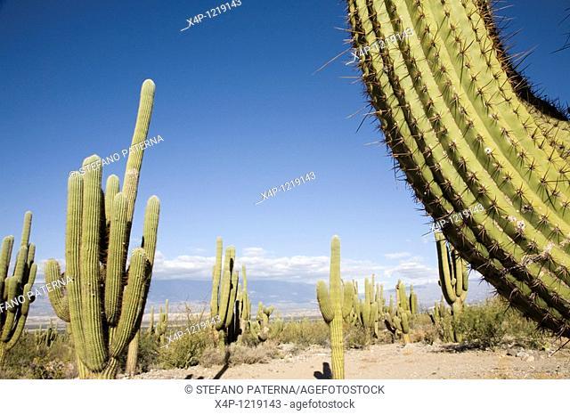 Cactus. Valles Calchaquies, Salta Province. Argentina