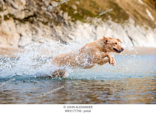 Golden labrador swimming on beach in Dorset, England, United Kingdom, Europe