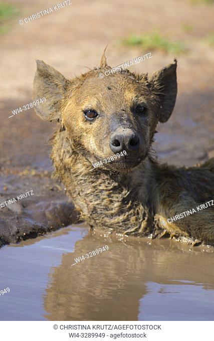 Spotted hyena (Crocuta crocuta) lying in a puddle to cool down, Maasai Mara National Reserve, Kenya, Africa