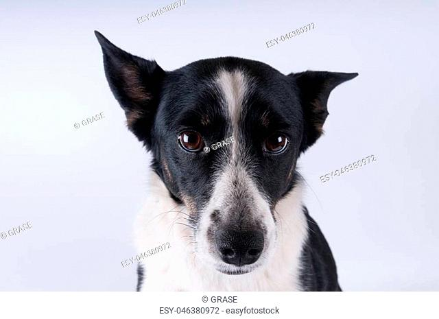 Funny closeup portrait of black and white mixed breed dog making faces