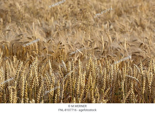 Ripe mixed crop with barley and wheat