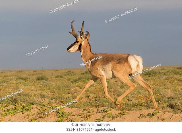 Baja California Pronghorn (Antilocapa americana peninsularis). Adult male trotting in semi-desert. The wild population is estimated at 200