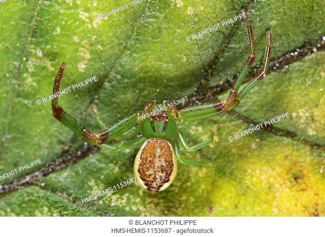France, Araneae, Thomisidae, Crab spider (Diaea dorsata)