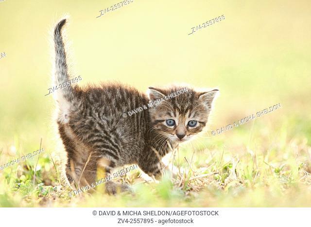 Five week old domestic cat (Felis silvestris catus) kitten on a meadow in late summer