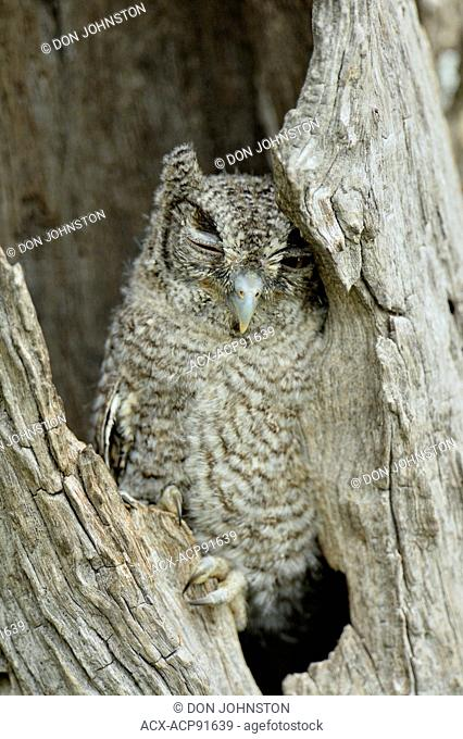 Eastern Screech-Owl (Megascops asio) Fledgling in a nest cavity, Rio Grande City, Texas, USA