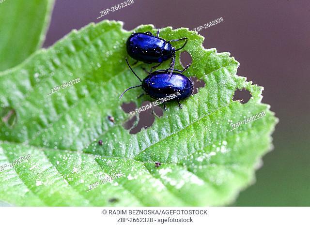 Alder Leaf Beetles (Agelastica alni) on European alder Alnus glutinosa