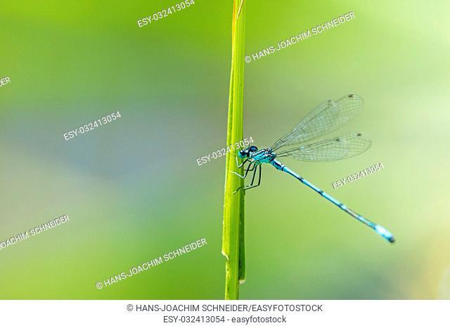 Azure Damselfly sitting on grass near a pond