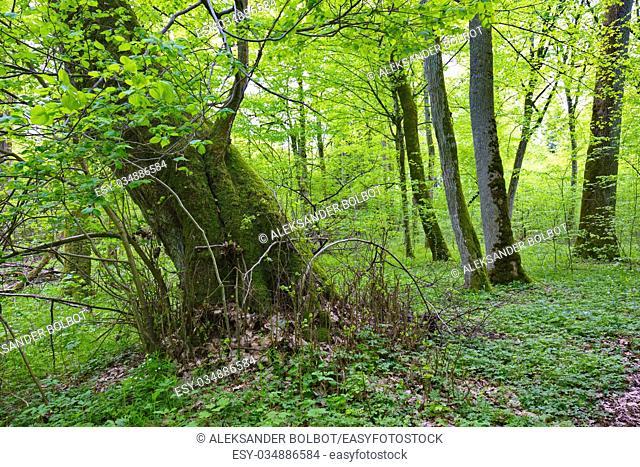 Old broken linden tree stump still alive, Bialowieza Forest, Poland, Europe