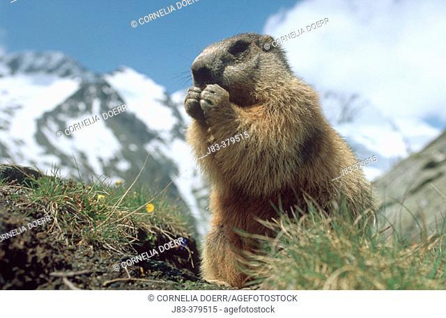 Alpine Marmot (Marmota marmota). Hohe Tauern National Park. Austria