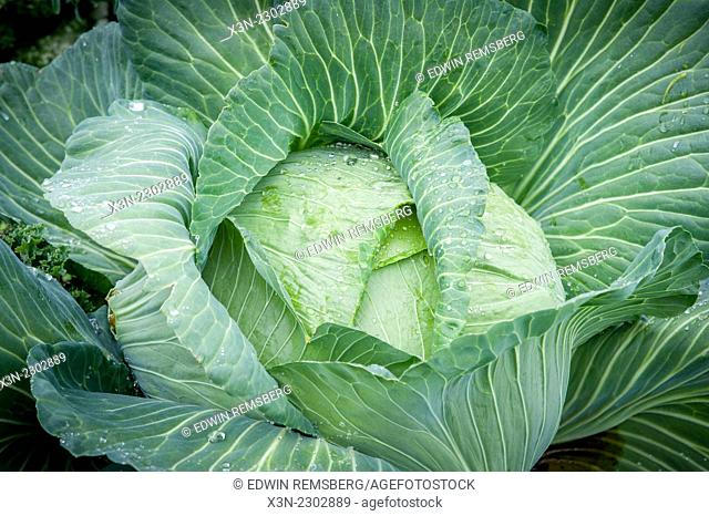 Cabbage (brassica oleracea) covered in dew shot from above