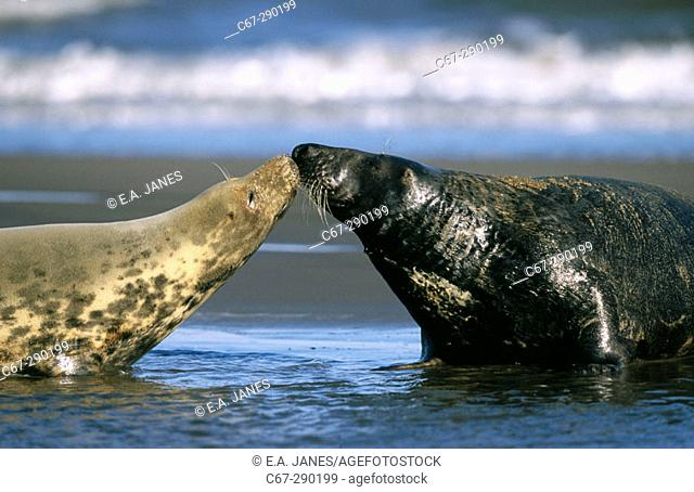 Male and female Grey Seals (Halichoerus grypus) prior to mating