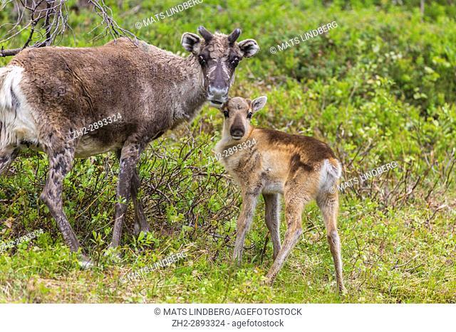 Reindeer cow, Rangifer tarandeus, with her calf, looking in to the camera, Gällivare, Swedish Lapland, Sweden