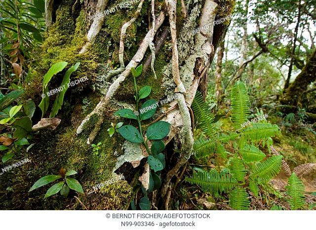 Cloud forest Mount Kinabalu Kinabalu National Park Sabah Borneo Malaysia