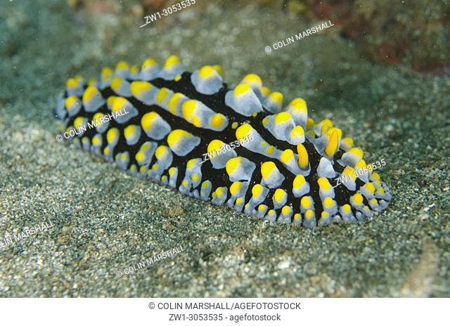 Varicose Phyllidia Nudibranch (Phyllidia varicosa), Secret Garden dive site, Dili, East Timor (Timor Leste)