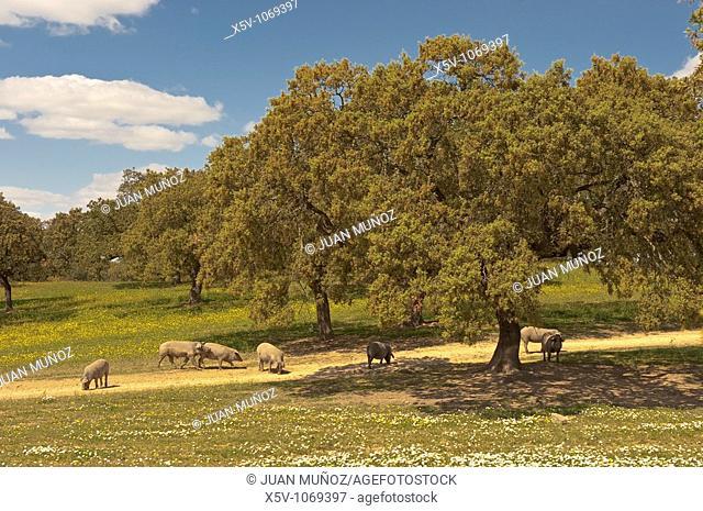 Iberian pig in the meadow of oaks. Huelva. Andalucia. Spain