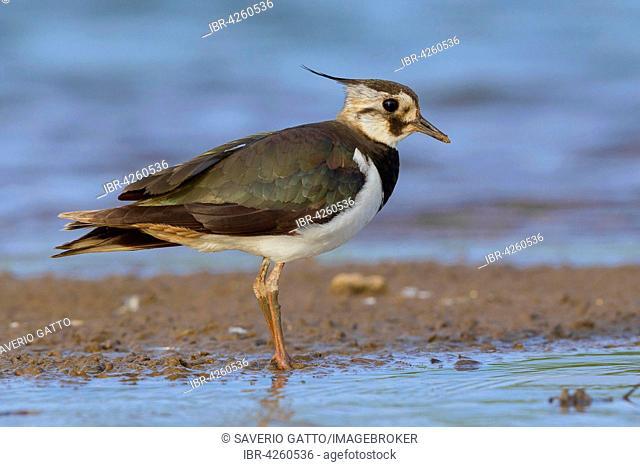 Northern lapwing (Vanellus vanellus), standing on mud, Campania, Italy