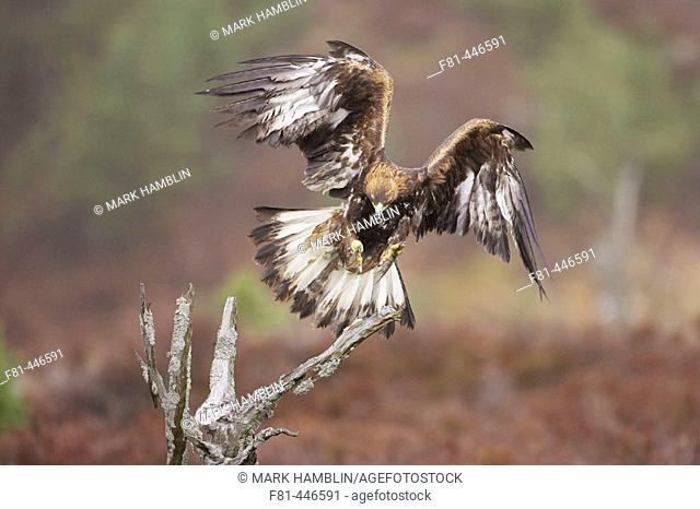 Golden Eagle (Aquila chrysaetos) adult in flight, alighting on dead pine tree on moorland. Scotland. (captive-bred bird)