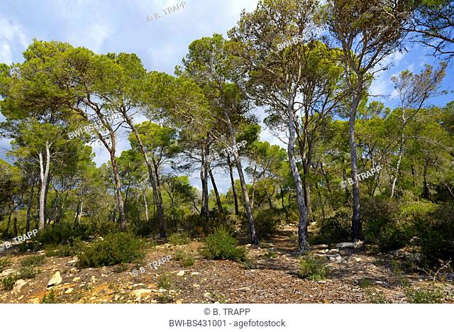 Stone pine, Italian Stone pine, Umbrella Pine (Pinus pinea), pristine pine forest at a parade ground on Mallorca, Spain, Balearen, Majorca, El Toro