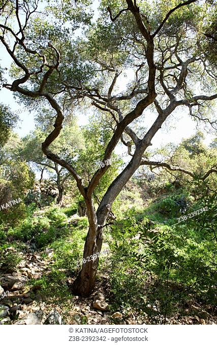 Quercus agrifolia, common name: coast live oak, lines a path through the Santa Barbara Botanic Garden; Santa Barbara; Santa Barbara County; California; CA; USA