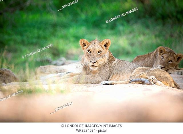 Young lion, Panthera leo