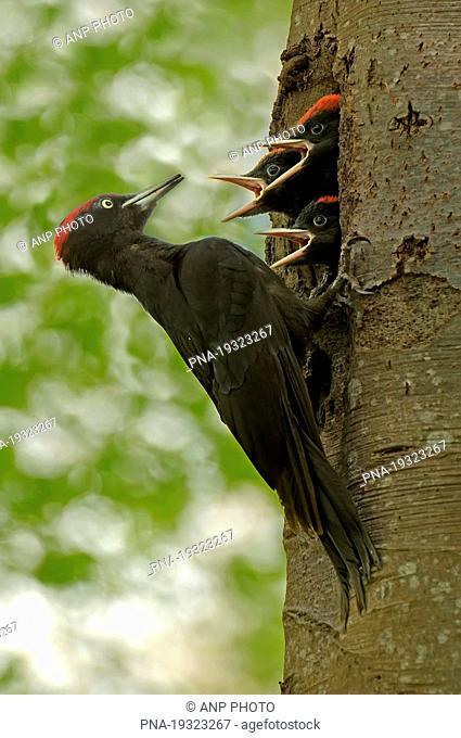 Black Woodpecker Dryocopus martius
