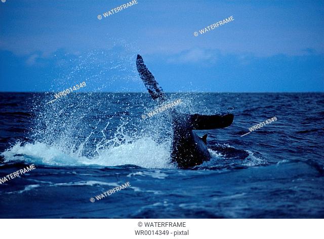 Fluke of Humpback Whale, Megaptera novaeangliae, Pacific Ocean, Hawaii, USA