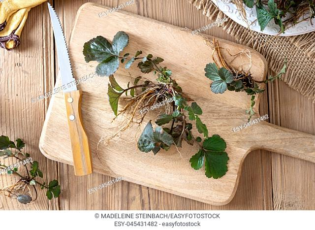 Young Herb Bennet plants with roots picked in early spring, top view