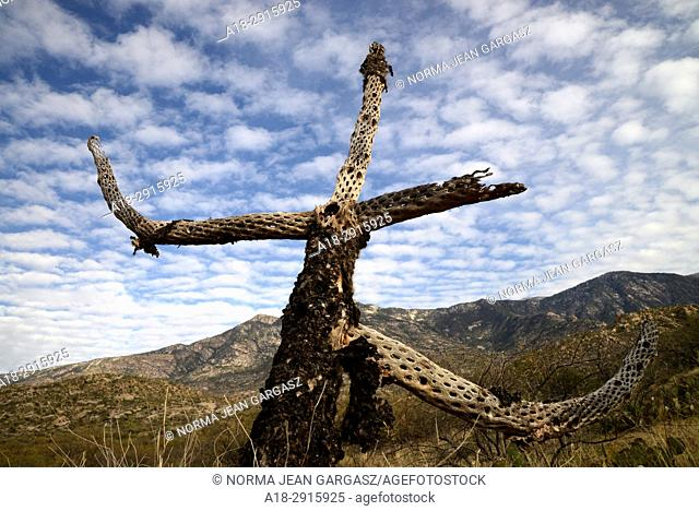 The skeleton of a cholla cactus stands over the Sonoran Desert in the foothills of the Santa Catalina Mountains, Catalina, Arizona, USA