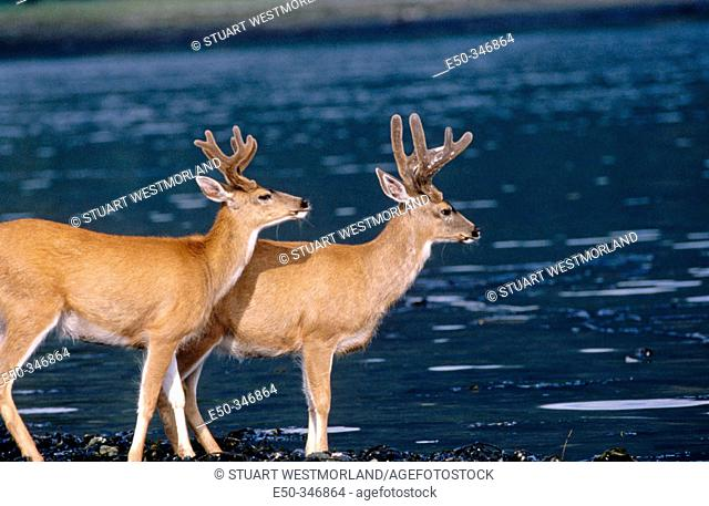 Sitka blacktail deer. Near Petersburg, South east Alaska. USA