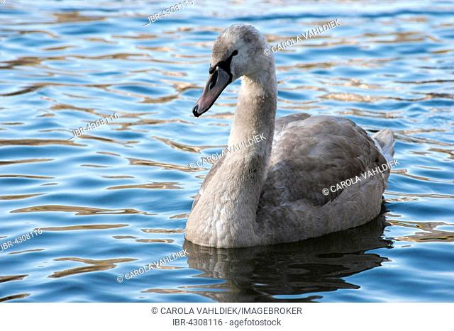 Mute Swan (Cygnus olor), fledgling on water, Hesse, Germany