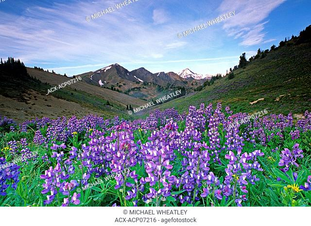 Lupine flowers, South Chilcotin Provincial Provincial Park, British Columbia, Canada