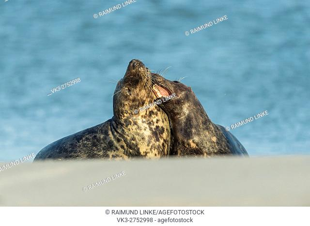 Grey Seal, Halichoerus grypus, Pair Fighting in Mating Season, Europe