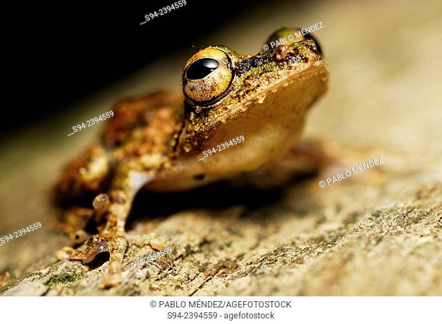 Frilled Tree Frog (Kurixalus appendiculatus) in Kubah National Park, Sarawak, Malaysia, Borneo